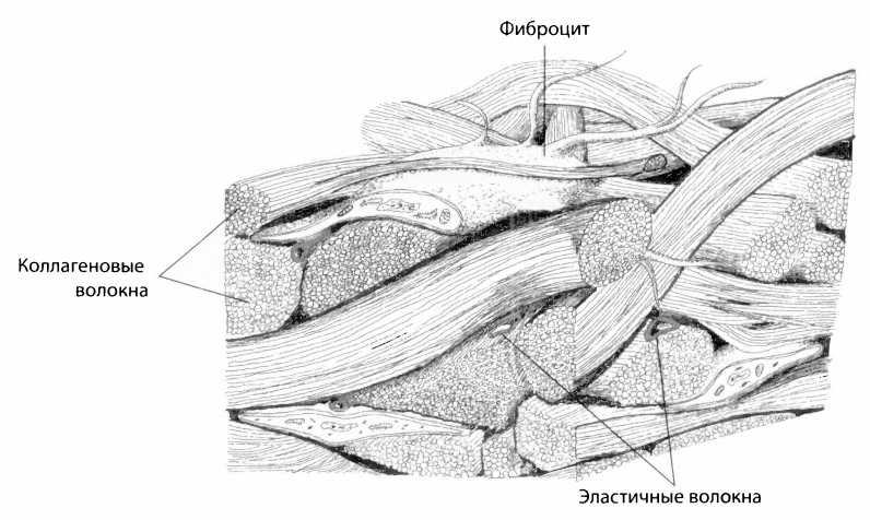 Схема строения фасции