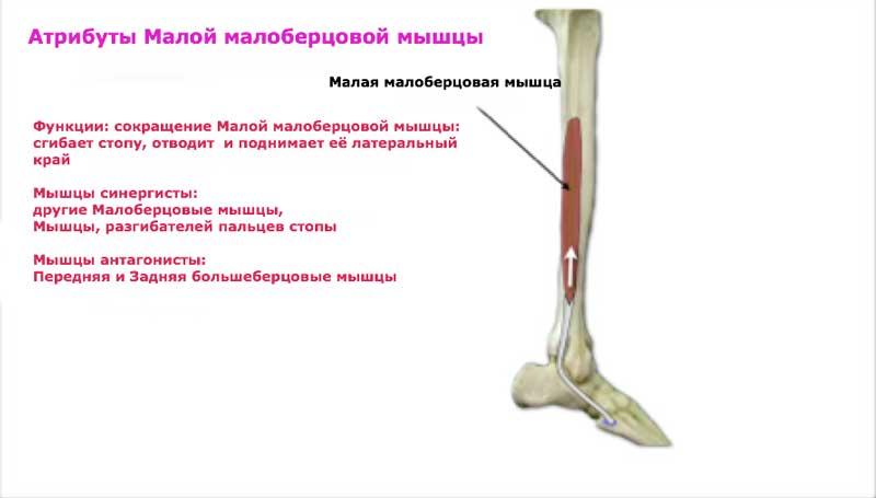 Группа малоберцовых мышц